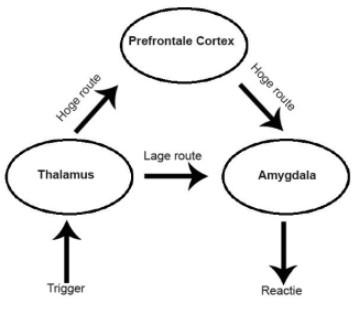 Prefrontale cortex thalamus amygdala